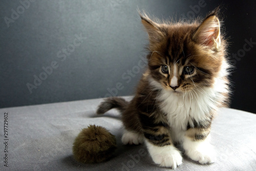 kitten was wonderful Maine Coon in the photo Studio Canvas Print