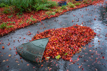 Pile Of Wet Leaves And A Rake ...