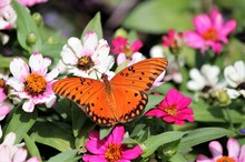 An Orange Gulf Fritillary Butterfly Sitting On White And Pink Flowers