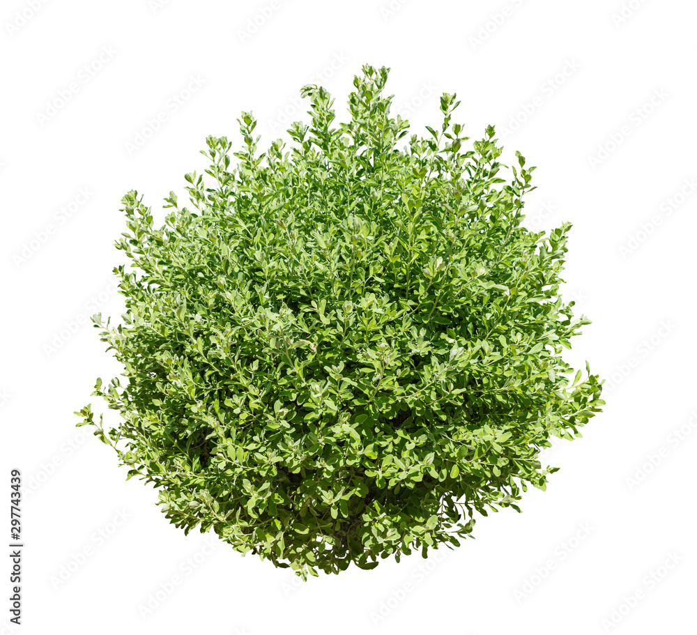 Fototapeta Bush isolated on white background,Objects with Clipping Paths