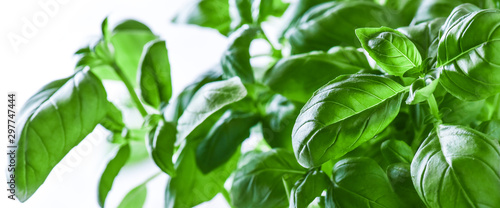 Fresh green basil on a white background. Green basils leaves with back light. Food vegetable wide panorama or banner. - 297747444
