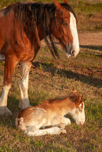 Newborn Foal Clydesdale Horse