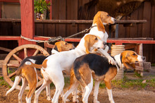 Foxhounds ( Beagles) On Leads Waiting For Parforce Hunting During Sunny Day In Autumn. Concepts: Impatient, British Breed, Outdoor, Beautiful
