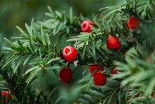 Berry Yew (lat. Táxus Baccáta)