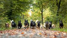 Hunde Meute Rudel
