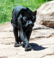 Black Panther Also Known As Jaguar
