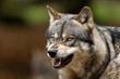 Grey wolf angry in the forest