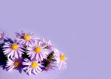 The Little Purple Asters On A Purple Background. Bouquet Of Autumn Flowers.