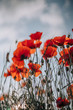 red poppies on background of blue sky