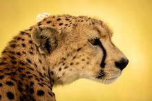 Close-up Of Female Cheetah Sitting Turning Head