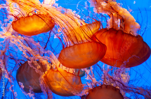 Photo beautiful orange jellyfish