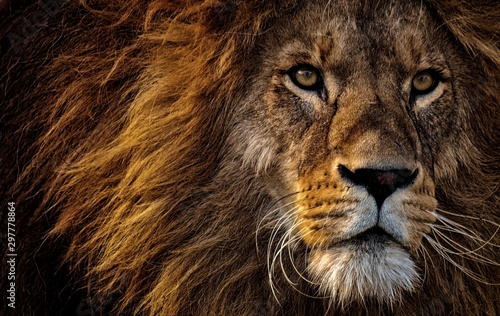 Garden Poster Lion lion,big cat,animal,cat,lions,head lion