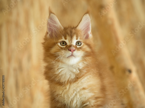 Maine Coon kitten Wallpaper Mural