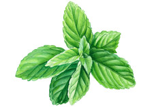 Mint Leaves On A White Backgro...