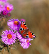 canvas print picture Butterfly on pink flowers with a purple tint