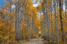 Autumn Aspen Trees Along Battle Pass Scenic Byway In Wyoming