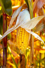 Corn Cob Semi Opened On A Natural Organic Household. Authentic Farm Series.