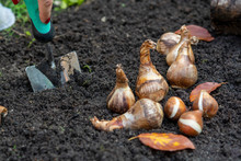 Autumn Garden Works, Shovel And Spring Flowers Bulbs Ready For Planting