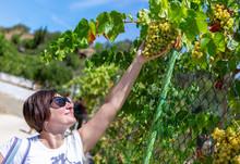 A Girl Picks Grapes In Portuga...