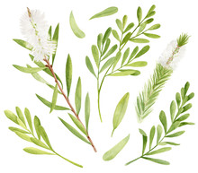 Watercolor Tea Tree Leaves, Flower Set. Hand Drawn Botanical Illustration Of Melaleuca Alternifolia. Green Medicinal Plant Isolated On White Background. Herbs For Cosmetics, Package, Essential Oil