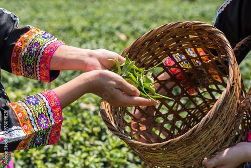 Fotomural  Farmer picking tea leave in the terraced tea fields