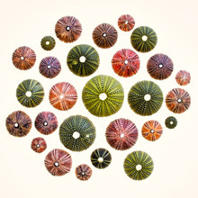Collection Of Colorful Sea Urchins On Back Lighted White Background