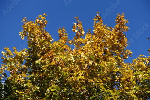 Photo Varicolored autumnal foliage of maple against blue sky
