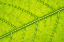 Macro Texture Of Green Leaf St...