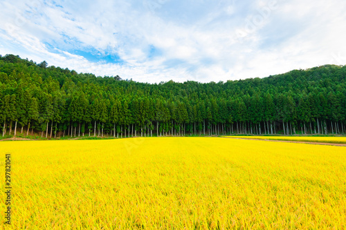 Wall Murals Yellow Rice field