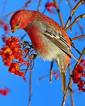 The Or Ordinary Crossbill (lat...