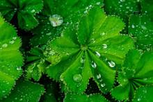 Tropfen-Tau-Regen Lotuseffekt