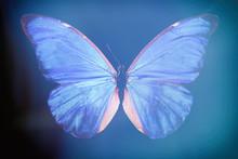 Blue Butterfly Morpho Anaxibia.