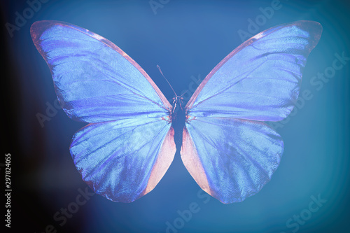 blue butterfly Morpho anaxibia. Tablou Canvas
