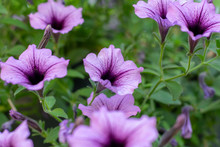 Purple Petunia Flowers Close-up 3