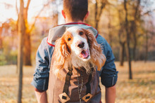 Joyful Cocker Spinel Sits In A Backpack On His Owner's Back And Looks At The Camera. Concept Of Hiking And Spending Time With Pets