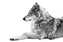 A Female Wolf Lies In The Snow, A Proud Animal Looks Forward With A Clear Look, Black And White Photo.
