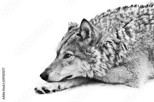 Autocollant pour porte Loup A female wolf lies in the snow, a proud animal looks forward with a clear look, lies beautifully and thoughtfully black and white photo.