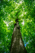 Upward View Of Tree Trunk And ...