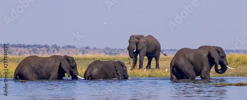 African elephants playing in water