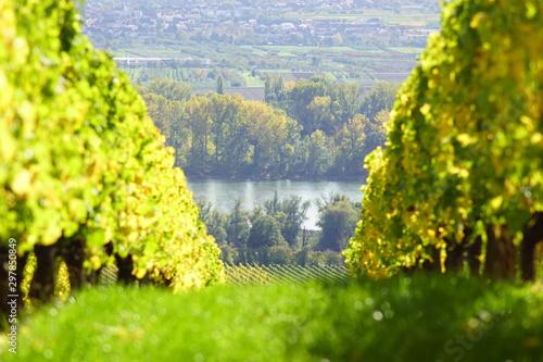 Weinreben mit Blick auf den Rhein in Geisenheim im Rheingau am Rheinsteig in Hessen Deutschland