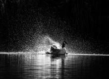 Canada Goose Kicking Up Spray As It Bathes.