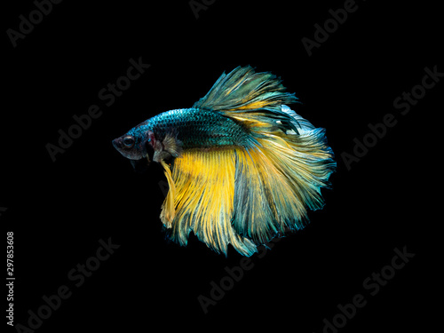 Pinturas sobre lienzo  Action and movement of Thai fighting fish on a black background