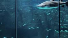 Ragged Tooth Shark Swimming Gr...