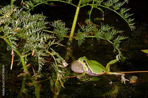 Recess Fitting Frog quakender, Europäischer Laubfrosch (Hyla arborea) - European tree frog