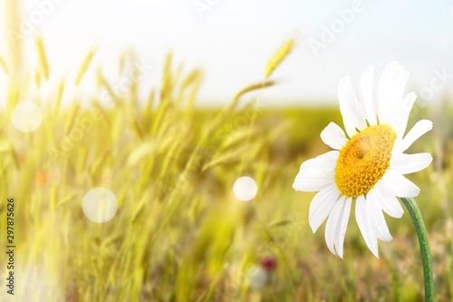 Fotografía  Close up white Daisy on field