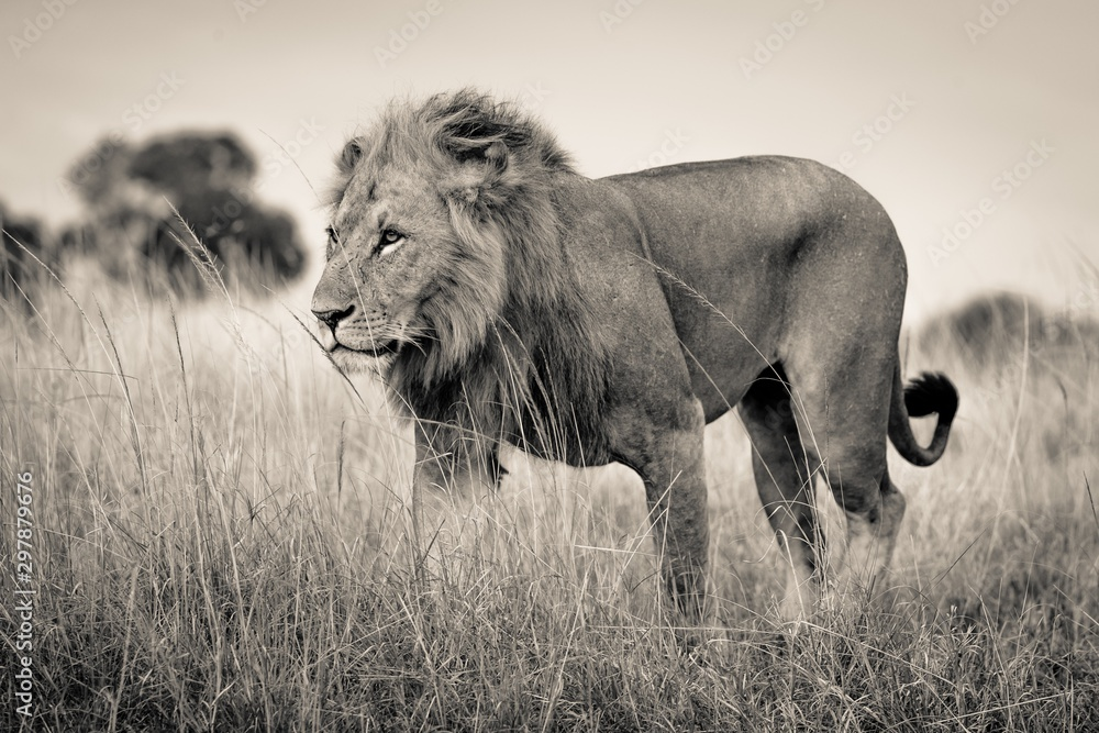 Fototapeta Beautiful shot of a lion standing in the dry grassy field with a blurred background