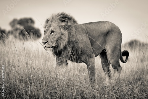 Beautiful shot of a lion standing in the dry grassy field with a blurred background