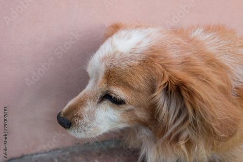 Fotografia Red dog is sitting near a wall
