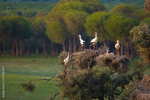 WHITE STORK, CIGÜEÑA BLANCA, Ciconia ciconia, Marismas de Doñana National Park, Canvas Print