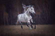 Purebred Arabian Stallion Runn...